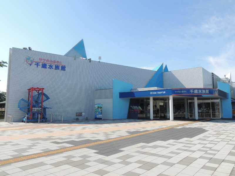 【千歳川】サケの遡上がピーク!